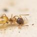 Hormiga Africana Fantasma - Photo (c) Ben Tsai蔡維哲, algunos derechos reservados (CC BY-NC)