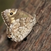 Eastern Rock Grayling - Photo (c) Vojtek Pavel, some rights reserved (CC BY-NC)