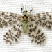 Nallachius americanus - Photo (c) Steve Pelikan, some rights reserved (CC BY-NC)