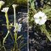 Nicotiana acuminata - Photo (c) Dick Culbert, osa oikeuksista pidätetään (CC BY)