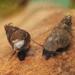 New Zealand Mudsnail - Photo (c) Alexander Mrkvicka, some rights reserved (CC BY-SA)