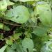 Pseudosermyle striatus - Photo (c) itamarriosruiz, algunos derechos reservados (CC BY-NC)