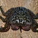 Mangrove Tree Crab - Photo (c) Chelsea Gottfried, some rights reserved (CC BY-NC)