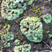 Thallose Liverwort - Photo (c) Liam O'Brien, some rights reserved (CC BY-NC)