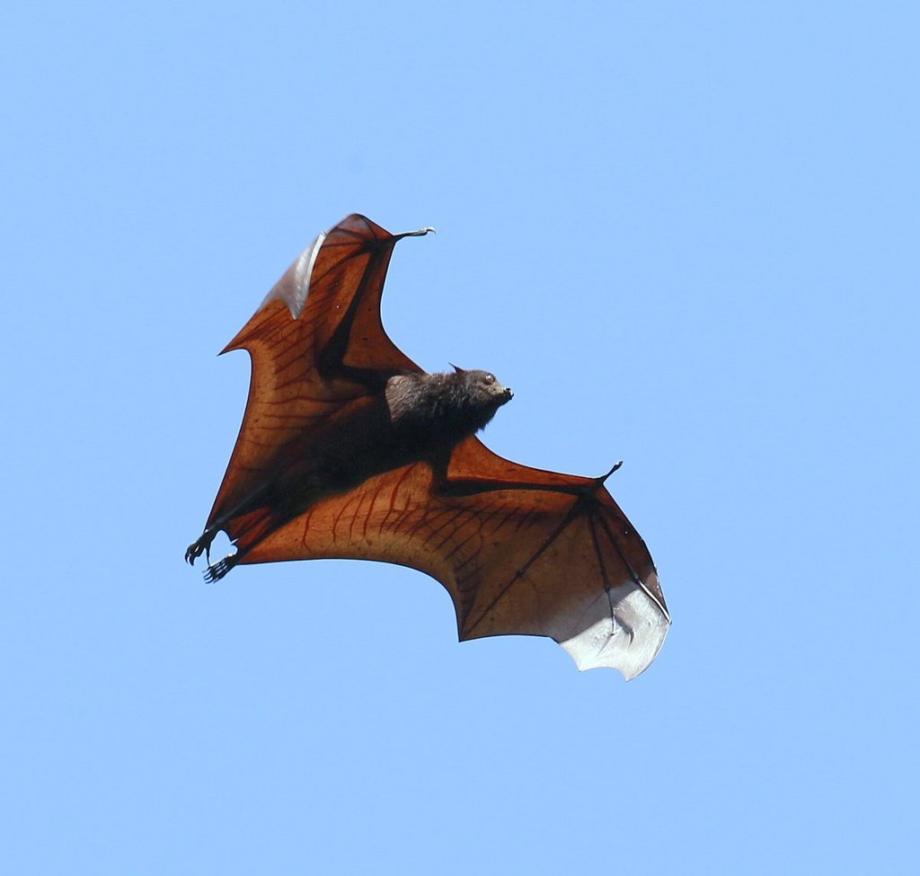 Large Flying Fox - Photo (c) Carmelo López Abad, some rights reserved (CC BY-NC)