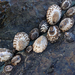 Lottia Limpets - Photo (c) Liam O'Brien, some rights reserved (CC BY-NC)