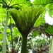 Gunnera peltata - Photo (c) Erasmo Macaya, algunos derechos reservados (CC BY-NC)
