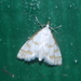 Leptosteges onirophanta - Photo (c) Rob C. H. M. Oudejans, algunos derechos reservados (CC BY-NC)