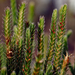 Selaginella arenicola - Photo (c) floydgriffith, algunos derechos reservados (CC BY-NC)