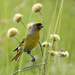 Cape Canary - Photo (c) Wynand Uys, some rights reserved (CC BY)