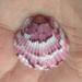 Escalopas o Almejas Catarina - Photo (c) Susan J. Hewitt, algunos derechos reservados (CC BY-NC)