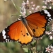 Plain Tiger Butterfly - Photo (c) Vojtek Pavel, some rights reserved (CC BY-NC)