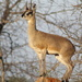 Transvaal Klipspringer - Photo (c) michaels90, some rights reserved (CC BY-NC)