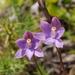 Thelymitra × dentata - Photo (c) mattward, algunos derechos reservados (CC BY-NC)