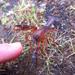 Engaeus leptorhynchus - Photo (c) yechee, μερικά δικαιώματα διατηρούνται (CC BY-NC)