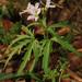 Berro Amargo de Virginia - Photo (c) Judy Gallagher, algunos derechos reservados (CC BY), uploaded by Judy Gallagher