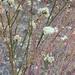 Naked Buckwheat - Photo (c) jenniferkalt, some rights reserved (CC BY-NC)