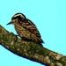 Sunda Woodpecker - Photo (c) prakashbr, some rights reserved (CC BY-NC)