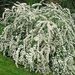 Bridal-Wreath - Photo (c) James Steamer, some rights reserved (CC BY-NC)