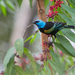 Blue-necked Tanager - Photo (c) Oswaldo Hernández, some rights reserved (CC BY-NC)