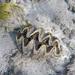 Tridacna squamosina - Photo (c) Tom Heijnen, algunos derechos reservados (CC BY-NC)
