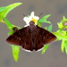 Jalapus Cloudywing - Photo (c) Francisco Farriols Sarabia, some rights reserved (CC BY)