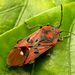 Spilostethus - Photo (c) Katja Schulz, some rights reserved (CC BY)