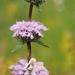 Phlomoides tuberosa - Photo (c) vladimir_epiktetov, algunos derechos reservados (CC BY-NC)
