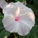 Ipomoea carnea - Photo (c) 葉子, μερικά δικαιώματα διατηρούνται (CC BY-NC-ND)