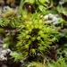 Weissia angustifolia - Photo (c) georgeg, algunos derechos reservados (CC BY-NC)