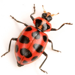 Spotted Pink Ladybeetle - Photo (c) Mike Quinn, Austin, TX, some rights reserved (CC BY-NC)