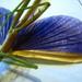 Didymuria violescens - Photo (c) melanie cook, μερικά δικαιώματα διατηρούνται (CC BY-NC-SA)