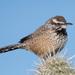 Campylorhynchus brunneicapillus - Photo (c) Gordon Karre,  זכויות יוצרים חלקיות (CC BY-NC)