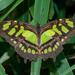 Mariposa Malaquita - Photo (c) Wayne Fidler, algunos derechos reservados (CC BY-NC)