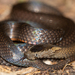 Golden Crowned Snake - Photo (c) Simon Gorta, some rights reserved (CC BY-NC)