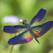 Greater Bluewing - Photo (c) budak, some rights reserved (CC BY-NC)