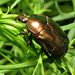 Copper Chafer - Photo (c) Katja Schulz, some rights reserved (CC BY)