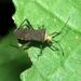 Zicca commaculata - Photo (c) Rob C. H. M. Oudejans, μερικά δικαιώματα διατηρούνται (CC BY-NC)