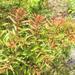 Coriaria pteridoides - Photo (c) Simon Nicholas, algunos derechos reservados (CC BY-NC)