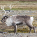 Caribou - Photo (c) Paul G. Schrijvershof, some rights reserved (CC BY-NC-ND)