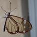 Mariposa Alas de Cristal de Manchas Blancas - Photo (c) Alejandro Santillana, algunos derechos reservados (CC BY-NC)