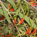 Northern Mistletoe - Photo (c) Pete Woodall, some rights reserved (CC BY-NC)