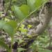 Polygonatum odoratum maximowiczii - Photo (c) Svetlana Nesterova,  זכויות יוצרים חלקיות (CC BY-NC)