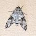 Macropoliana natalensis - Photo (c) Arno Meintjes, algunos derechos reservados (CC BY-NC-SA)