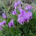 Oxytropis nuda - Photo (c) inessa_naturalist,  זכויות יוצרים חלקיות (CC BY-NC)