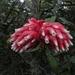 Cavendishia nitida - Photo (c) Juan Andrés leyva, some rights reserved (CC BY-NC)
