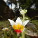 Nasa picta - Photo (c) Jim Morin, algunos derechos reservados (CC BY-NC)