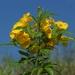 Timboco - Photo (c) sergioniebla, algunos derechos reservados (CC BY-NC-SA)