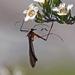 Bittacidae - Photo (c) Michael Jefferies, algunos derechos reservados (CC BY-NC)