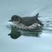 Cassin's Auklet - Photo (c) Blake Matheson, some rights reserved (CC BY-NC)